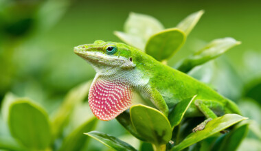 Green Anole outside