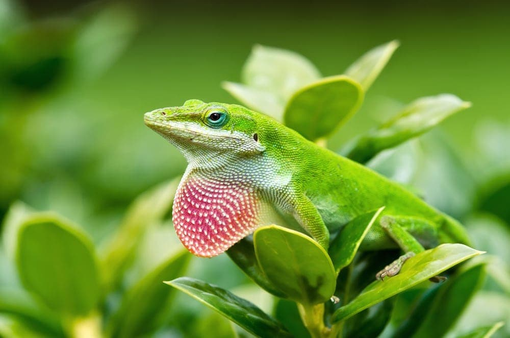 Green Anole outside
