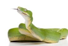 Green Tree Python Care guide & Info