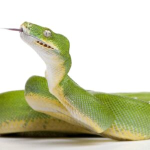 Green Tree Python - Care guide & Info