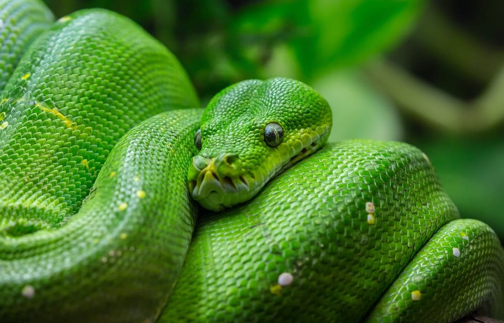 Green Tree Python close