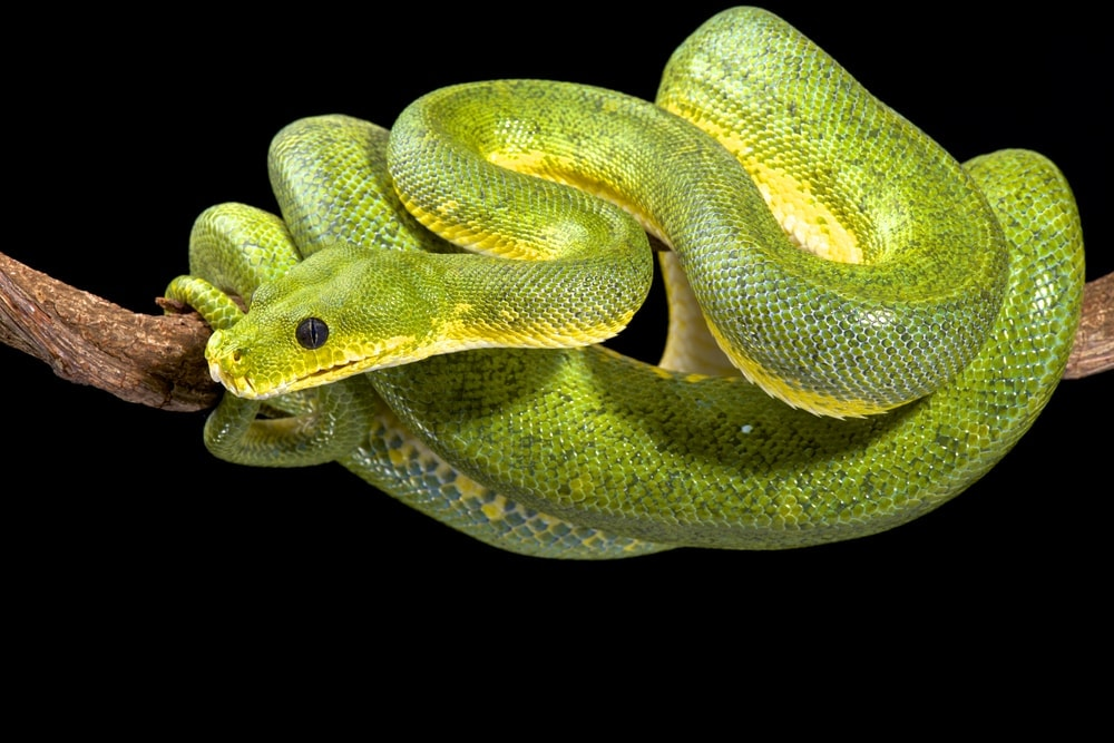 Green Tree Python stick