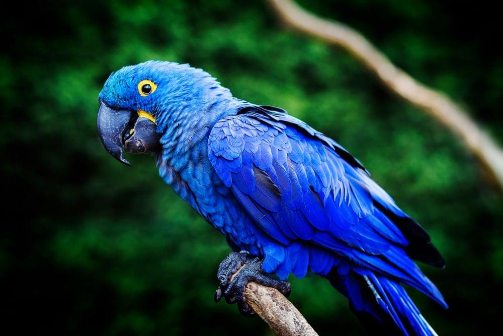 Hyacinth Macaw 1