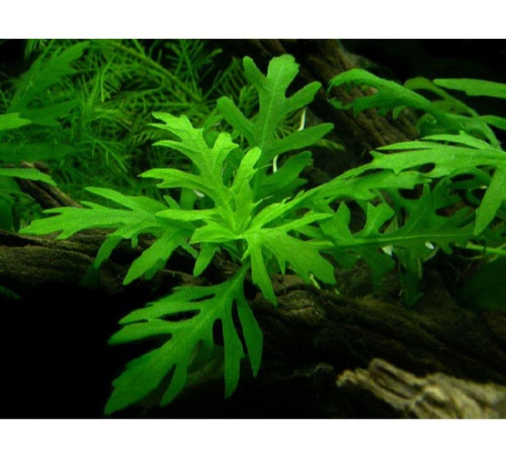 Hygrophila difformis Water Wisteria 1 1