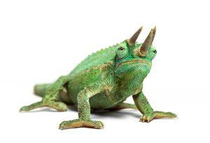Jacksons Chameleon white bg