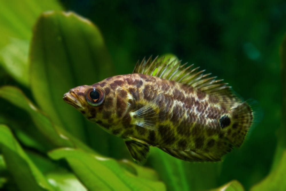 Leopard Bush Fish 1