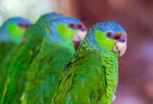 Lilac-Crowned Amazon Care Guide - Lifespan & Info