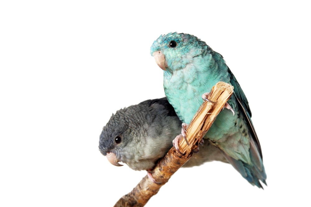 Lineolated Parakeets couple