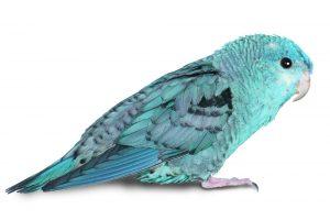 Lineolated Parakeets white background