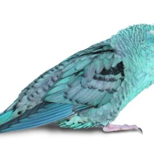 Lineolated Parakeets - Care Guide & Info
