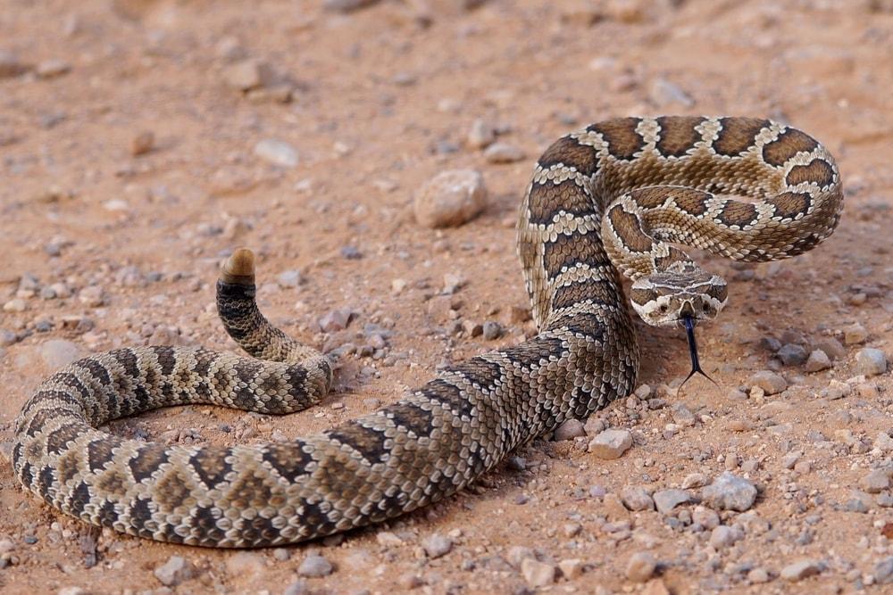 Mojave rattlesnake 2