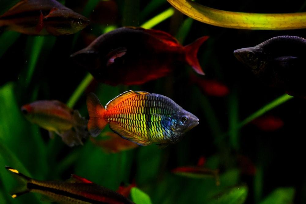 Murray River Rainbowfish