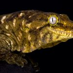 New Caledonian Giant Gecko - Care Guide