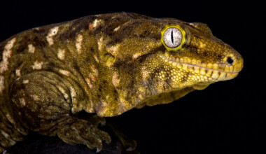 New Caledonian Giant Gecko black background