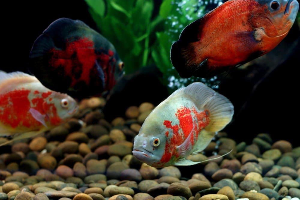 Oscar fish 2