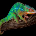 Panther Chameleon Care guide - Size, Diet & More