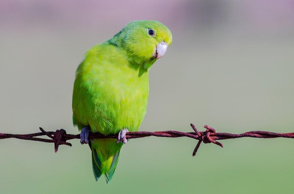 Parrotlet 1