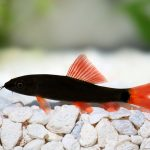 Rainbow Shark Care Guide - Size, Breeding & More