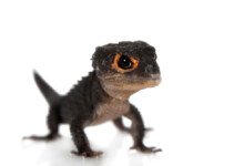 Red-Eyed Crocodile Skink Care Guide