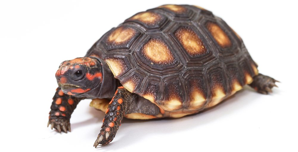 Red footed tortoise 1 e1578324663654