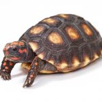 Red Footed Tortoise - Care Guide & Info