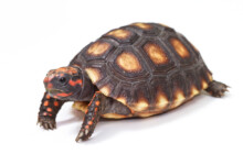 Red Footed Tortoise Care Guide & Info