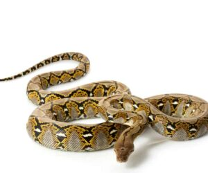 Reticulated Python white bg