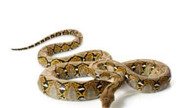 Reticulated Python white bg