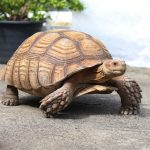 Sulcata Tortoise – Care Guide & Price