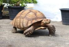 Sulcata Tortoise Care Guide & Price