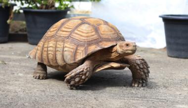 Sulcata Tortoise 2