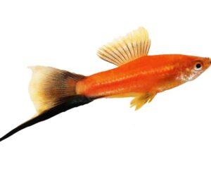 Swordtail Fish white background