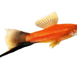 Swordtail Fish - Care Guide