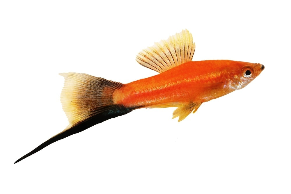 Swordtail Fish white background
