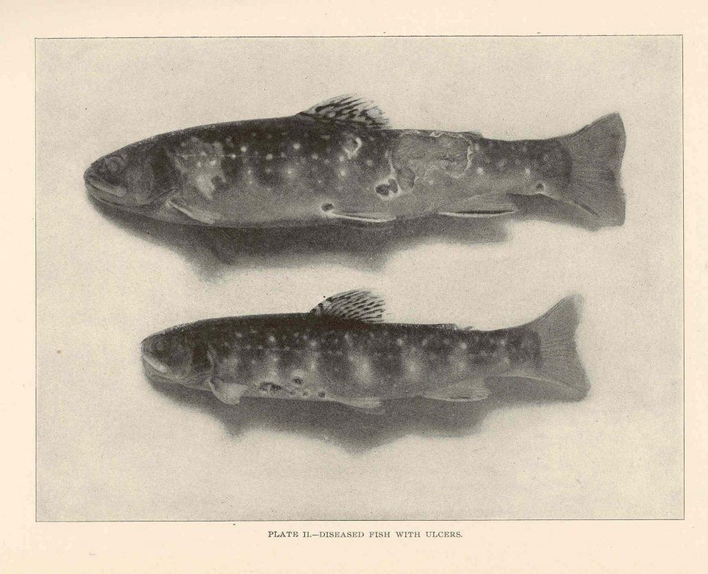 Ulcers fish