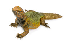 Uromastyx Lizard Care Guide - Diet, Lifespan & More
