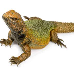 Uromastyx Lizard Care Guide & price