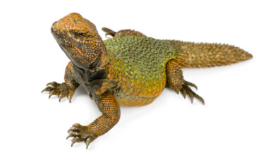 Uromastyx Lizards