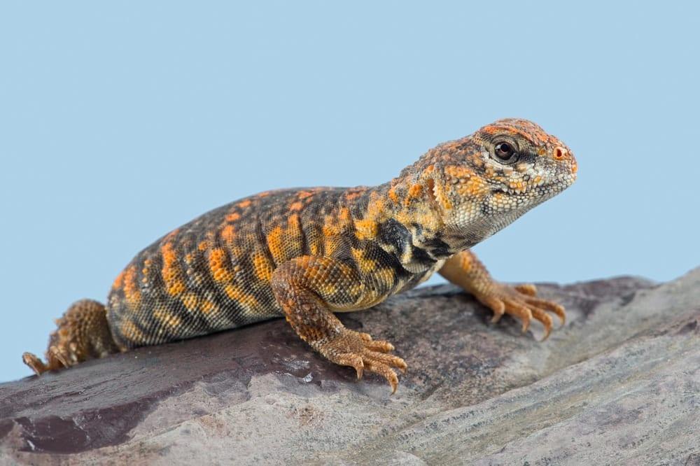 Uromastyx Lizards stock