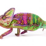 Veiled Chameleon Care Guide - Diet, Lifespan & More