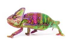 Veiled Chameleon Care Guide - Diet, Lifespan & More