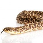 Western Hognose Snake - Care Guide & Prices