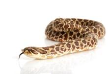 Western Hognose Snake Care Guide & Prices