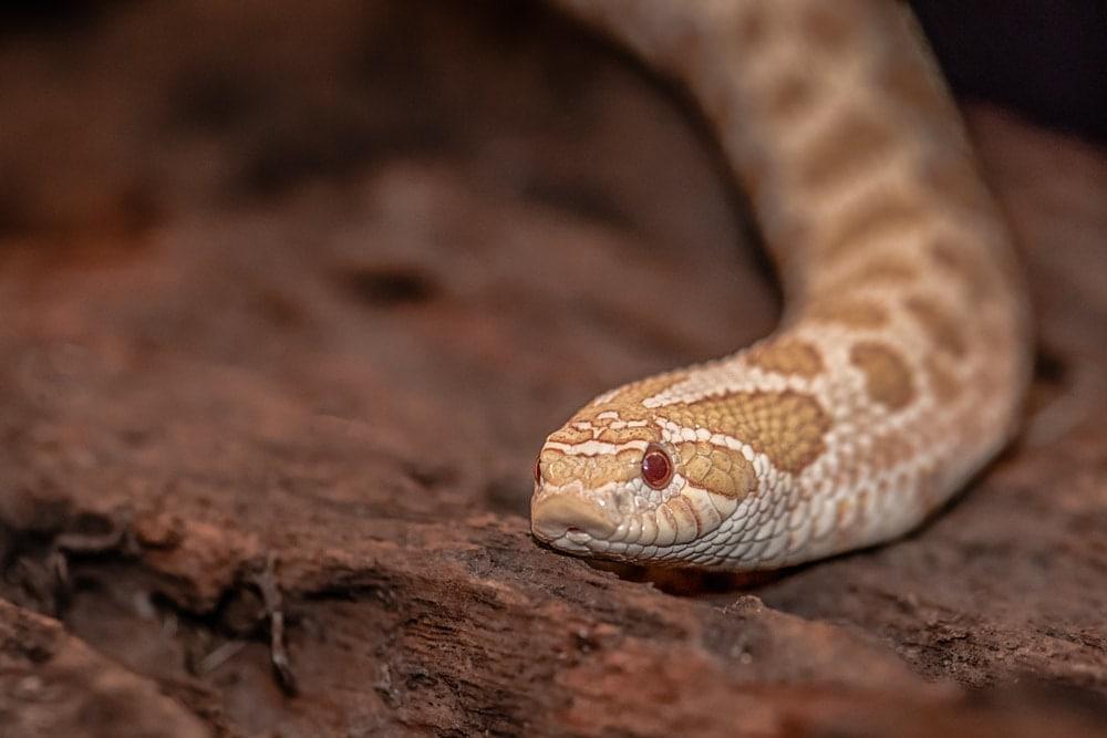Western Hognose Snake2