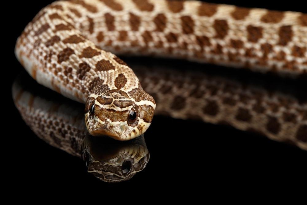 Western Hognose Snake3