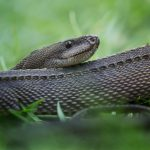 Dragon Snake Care guide - Diet, Lifespan & More
