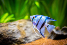 Different Types Freshwater Angelfish