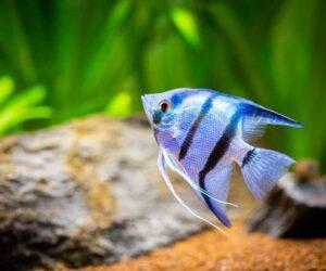 Zebra Angelfish