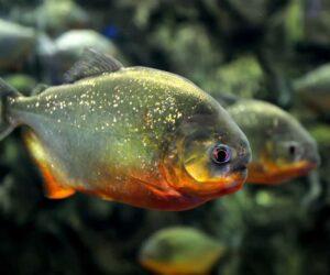aggressive aquarium fish