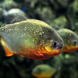 10 Most Aggressive Freshwater Fish